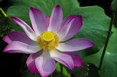 Tripped Pink Lotus in White Lake. — Stock Photo