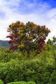 Multicolored Tree of Samosir Island. — 图库照片