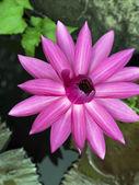 Lotus. — Stok fotoğraf