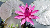 Pink Lotus with Leaves. — Stock Photo