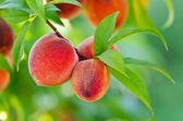 Perziken opknoping op een boomtak — Stockfoto