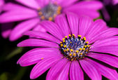 African Daisy (Osteospermum) flowers — Stock Photo