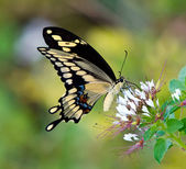 Giant Swallowtail butterfly (Papilio cresphontes) — Stock Photo