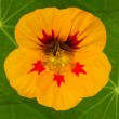 Yellow nasturtium flower - Stock Photo