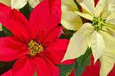 Poinsettia flowers — Stock Photo