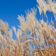 Stock Photo: GraziellMaiden Grass (miscanthus sinensis)