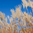 Graziella Maiden Grass (miscanthus sinensis) — Stock Photo
