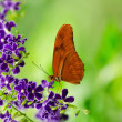Orange Longwing (Dryas iulia) butterfly — Stock Photo