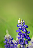 Texas Bluebonnets — Stockfoto