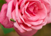 Spotted cucumber beetle on rose — Stock Photo