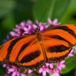 Banded Orange butterfly (Dryadula phaetusa) — Stock Photo #18279437