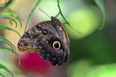 フクロウ蝶 (暗闇) — ストック写真