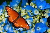 Queen butterfly on hydrangea flower — Stock Photo