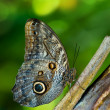 Постер, плакат: Owl butterfly Caligo