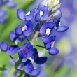 Stock Photo: Texas bluebonnets