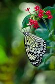 Paper Kite butterfly (Idea leuconoe) — Stock Photo