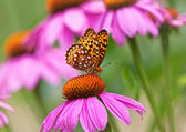 Borboleta borboletas na coneflowers — Fotografia Stock