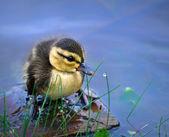 Newborn duckling — Stock Photo