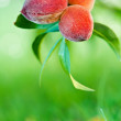 Peaches growing on peach tree — Stock Photo