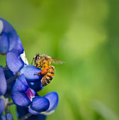Bee collecting pollen from Bluebonnets — Stock Photo