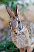 Surprised looking cottontail bunny rabbit — Stock fotografie