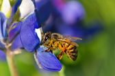 Bee collecting pollen from bluebonnet — Stock Photo