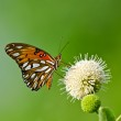 Gulf Fritillary butterfly (Agraulis vanillae) — Stock Photo #21666507