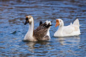 White and Brown Chinese Goose (Anser cygnoides) — ストック写真