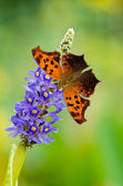 Question Mark butterfly — Stock Photo