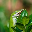 Green Anole lizard eating — Stock Photo