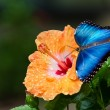 Blue Morpho butterfly (Morpho peleides) — Stock Photo #21700857