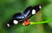 Doris Longwing butterfly (Heliconius Doris) — Stock Photo