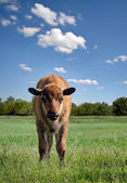 Buffalo calf — Stock Photo