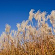 Graziella Maiden Grass — Stock Photo