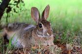 ツリーの下でかわいいワタオウサギ ウサギ — ストック写真