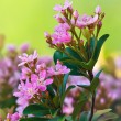 Pink spring flower blossoms — Stock Photo