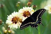 Black Swallowtail butterfly (Papilio polyxenes) — Stock Photo