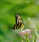 Giant Swallowtail butterfly (Papilio cresphontes) — Foto de Stock