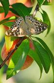 Hackberry Emperor butterfly (Asterocampa celtis) — Stock Photo