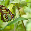 Malachite butterfly (Siproeta stelenes) — Stock Photo