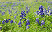 Texas bluebonnets (Lupinus texensis) on the meadow — Stock Photo