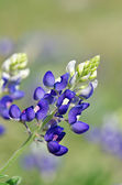 Texas bluebonnet (Lupinus texensis) — Stock Photo