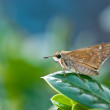 Stock Photo: Skipper butterfly perched on leaf