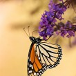 Monarch butterfly (Danaus plexippus) — Stock Photo #24752865