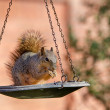 Squirrel on bird feeder — Stock Photo