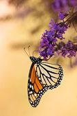 Monarch butterfly (Danaus plexippus) — 图库照片