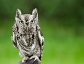 Eastern Screech Owl (Megascops asio) — Stock Photo