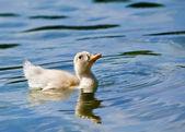 Patinho nadando no lago — Foto Stock