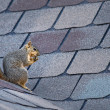 Squirrel on the roof — Stock Photo