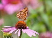 Fritillary butterfly on coneflower — Stock Photo